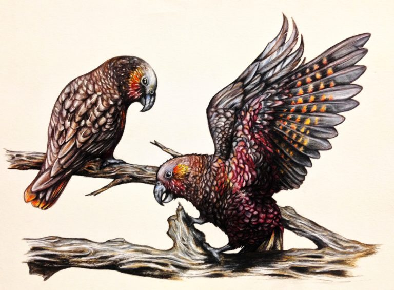 Two native New Zealand Kaka (forest parrot) - Faber Castell Polychromos coloured pencils on tinted paper