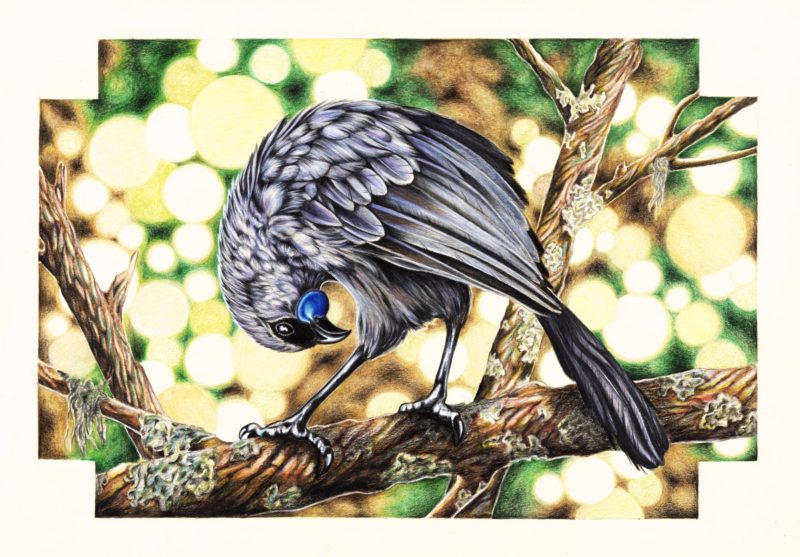 A native New Zealand Kokako - Faber Castell Polychromos coloured pencils on paper