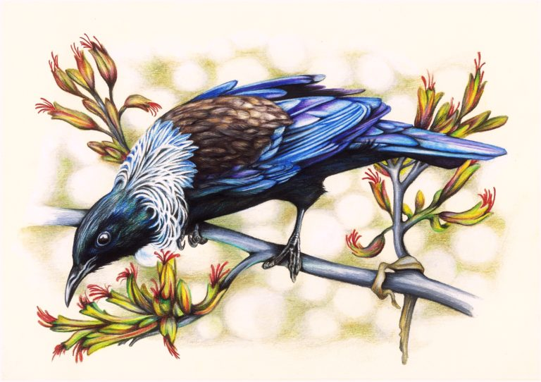 A native New Zealand Tui - Faber Castell Polychromos coloured pencils on paper